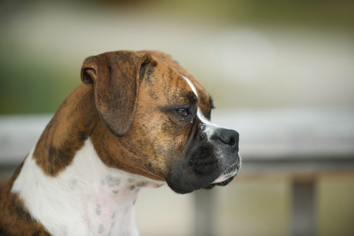 Side profile of a Boxer dog
