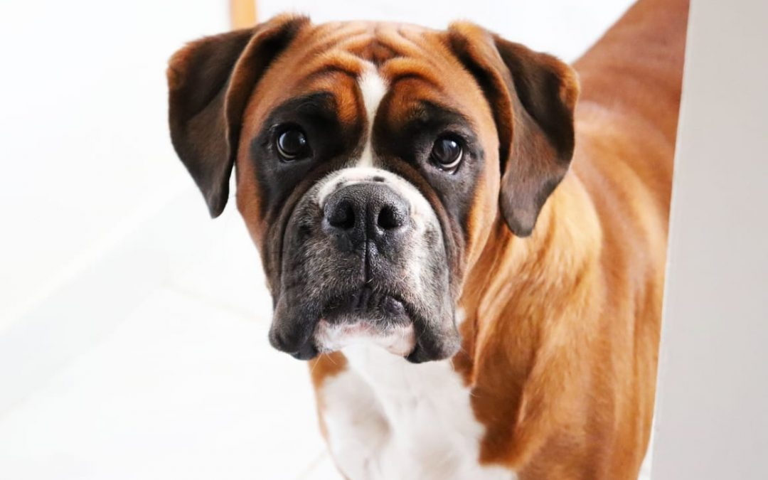 Focus On Breeds. Why The Boxer Dog Makes A Perfect Pet