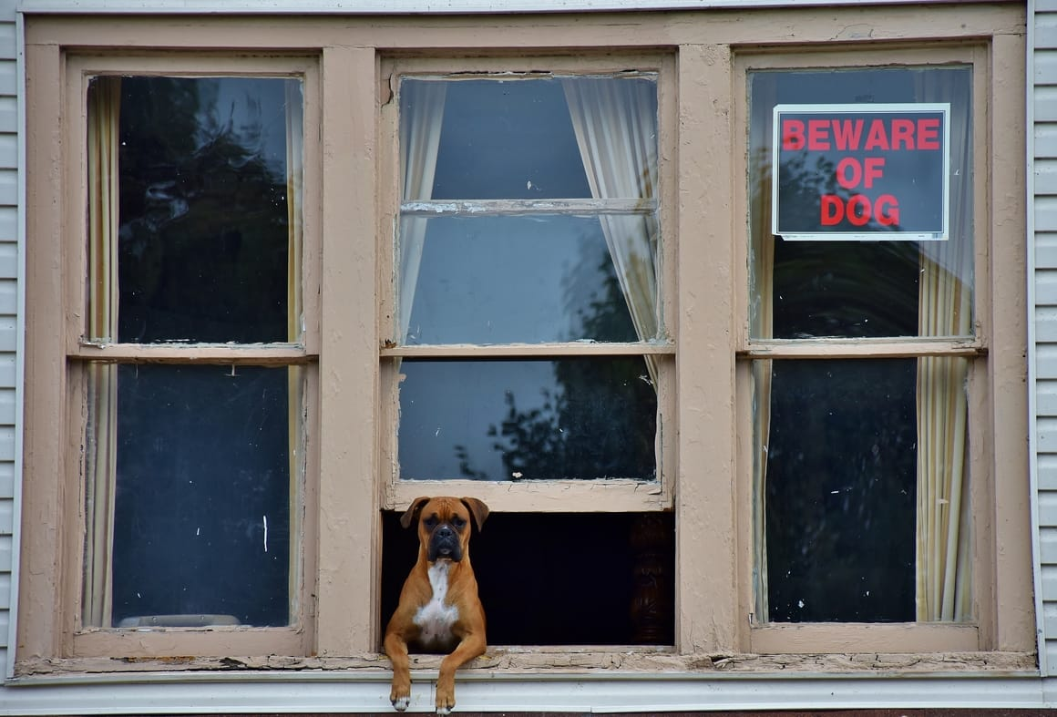 Boxer dog looking out of the window of a house. Perfect guard dogs!