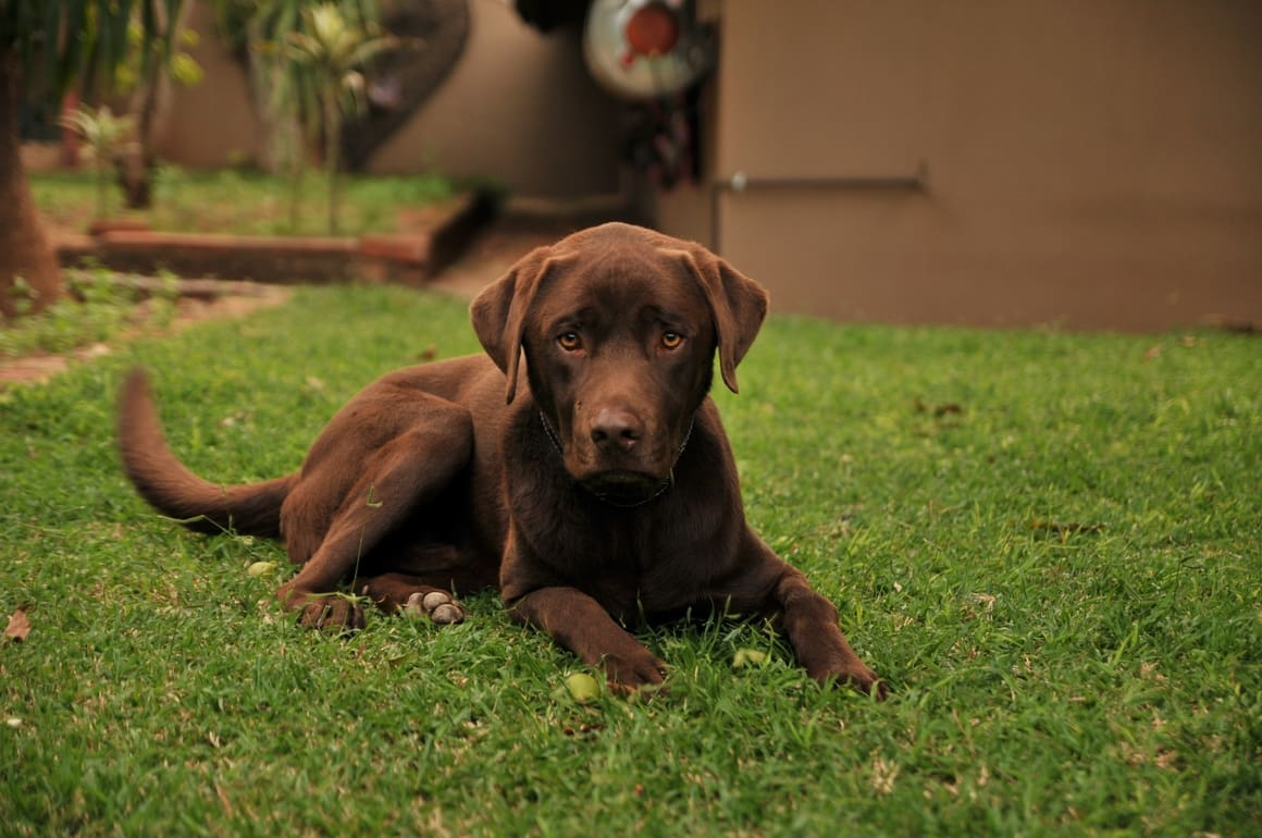 brown chocolate Labrador retriever dog