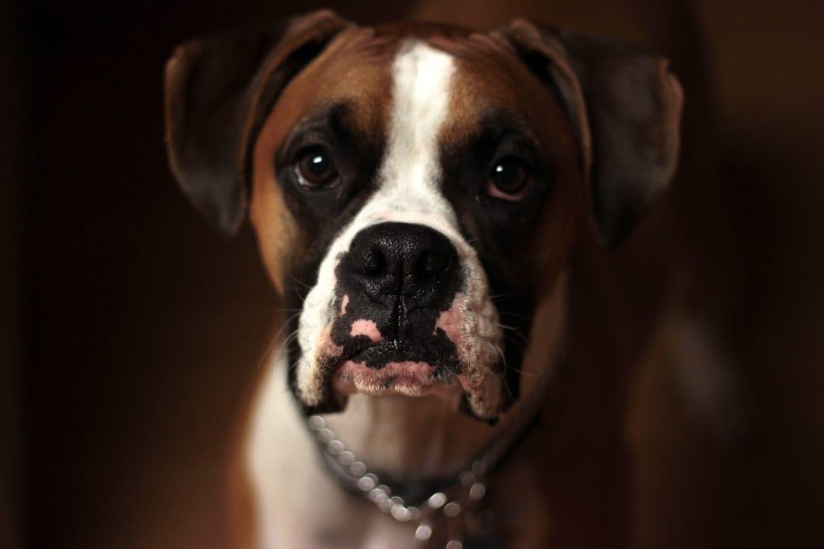 Boxer dog facing the camera