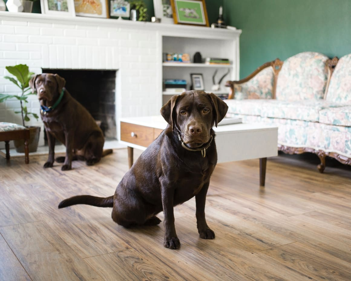 Two adult labradors. Labrador Retrievers and why they are the most popular breed in NZ